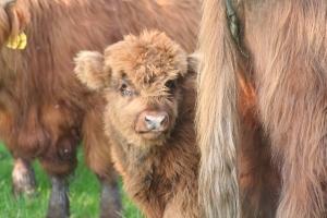 De Schotse Hooglanders zijn gewoon koeien. Met hele grote horens. Ze lopen een vaste rond op hun terrein.