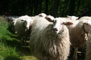 De schapen komen aan bij Zuylenstein. Ze worden hartelijk ontvangen.
